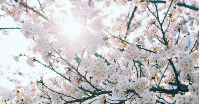 花見をする日は紫外線対策もしっかり!3月からの紫外線ケアが重要な理由