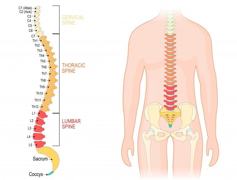背骨から骨盤図