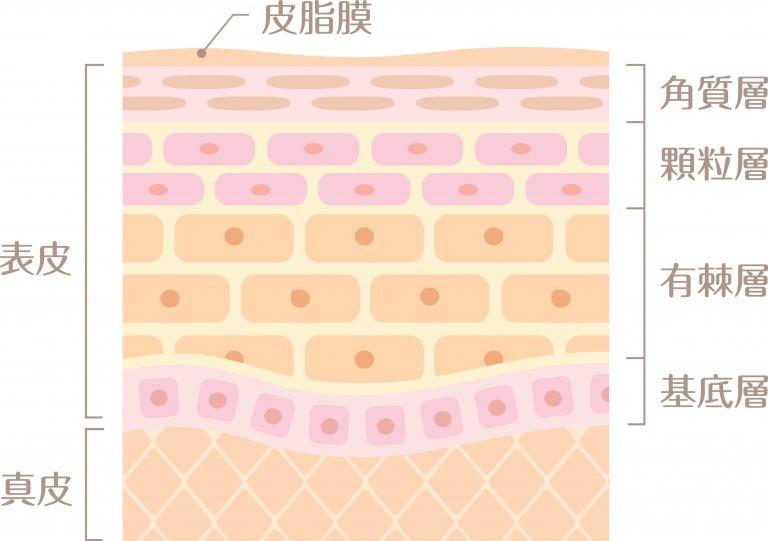 表皮と真皮の構造