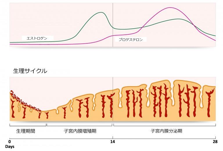 生理周期の女性ホルモンの分泌量